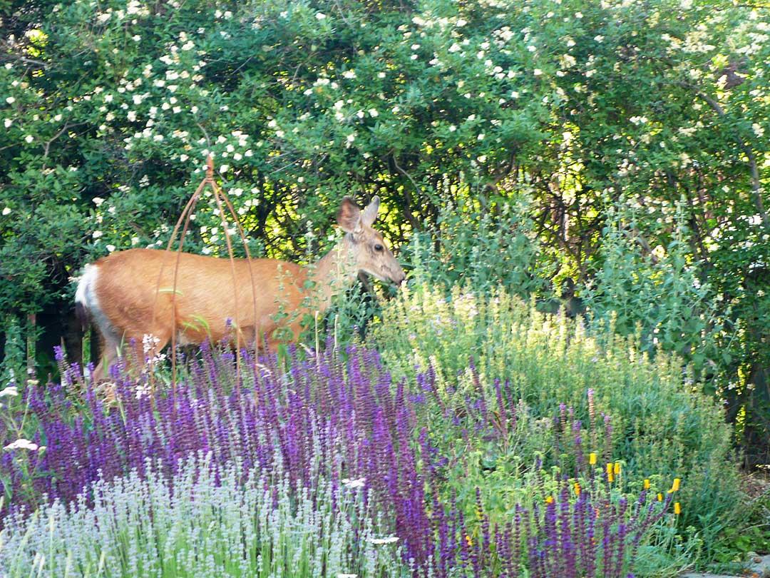 Deer in an Okanagan xeriscape garden