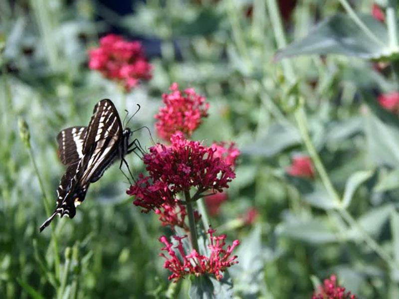 Butterflies love a Xeriscape garden