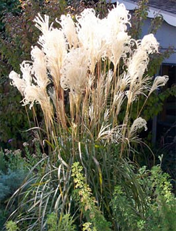 Miscanthus Malepartus ornamental grass